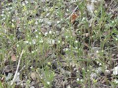 2010.05.06_14.25.30_CIMG3162 (andrey_zharkikh) Tags: alyssum arvense lithospermum alyssoides buglossoides