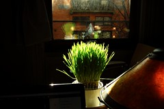 cat grass (omoo) Tags: newyorkcity art window glass reflections morninglight apartment interior westvillage books antiques collectibles greenwichvillage wheatgrass catgrass morninggrass missiontablelamp