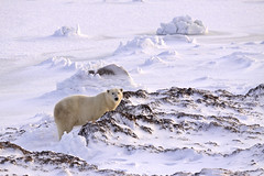"Eisbär Cape Churchill. Hudson Bay, Kanada (9) • <a style=""font-size:0.8em;"" href=""http://www.flickr.com/photos/73418017@N07/6730318683/"" target=""_blank"">View on Flickr</a>"