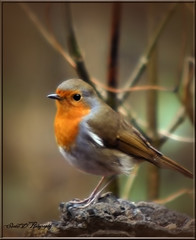 ROBIN (Shaun's Wildlife Images....) Tags: birds robins shaund