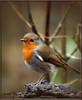 ROBIN (Shaun's Photographic World.) Tags: birds robins shaund