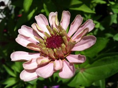 zinnia (SS) Tags: pink light summer italy brown white black flower macro green apple nature beautiful weather yellow composition garden photography countryside beige focus colorful soft glow glare shadows dof view angle bokeh 4 year perspective meadow august burning shade crop bouquet framing zinnia fiore bianco nero lazio iphone atmophere opposti natureselegantshots fleursetpaysages ss