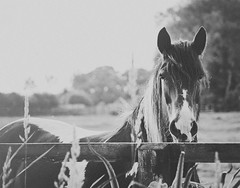 And God took a handful of southerly wind, blew His breath over it and created the horse. (puremaguire) Tags: horse sunlight beautiful nose mane