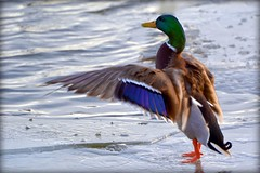 Bird - Duck - Mallard (blmiers2) Tags: blue orange green bird birds duck wings nikon colorful explore mallard drake picnik anasplatyrhynchos anatidae anseriformes explored d3100 blm18 blmiers2