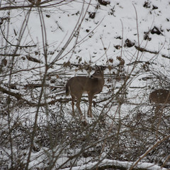 "21/366 (open): ""First Snow"" (Hepcat75) Tags: trees winter snow cold nature animal canon eos rebel newjersey stream wildlife january young nj somerset doe brush deer listening jersey snowfall whitetail 2012 listen xsi hillsborough somersetcounty underbrush 450d project366"
