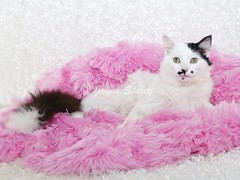 Cute Black and White Cat. (Jaime401) Tags: pink blackandwhite pet baby holiday cute animal cat easter mammal photography kitten calendar fuzzy sweet fluffy whitebackground card blanket april copyspace behavior domesticanimals affectionate picnik valentinesday femininity facialexpression alertness