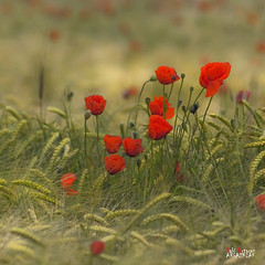 Amapolas / EXPLORE FRONT PAGE (Jabi Artaraz) Tags: flowers red flores verde spain rojo europa europe sony poppies gorria zb spanien baskenland 1000views biskaia amapolas beautifulearth 3000views digitalcameraclub 100faves 200faves 1000vistas biskaya euskoflickr fineartphotos abigfave superaplus aplusphoto flickrbest impressedbeauy diamondc