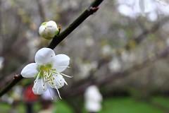 IMG_6042 (Sandor's Album) Tags: flowers flower blossom plum hsinchu taiwan       nationaltsinghuauniversity drmeimemorialgarden