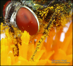 Pollen Saturated (Darren Post) Tags: red flower macro yellow fly eyes pollen diffuser mt24ex macroextreme efs60mmf28macrousm ef12ii ef25ii specinsect macrolife ahqmacro wonderfulworldofmacro canon5dmkii notyournormalbug macrolifeelite