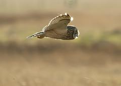 """500"" (blackfox wildlife and nature imaging) Tags: nikon sigma raptor 500 owls birdsofprey wirral shorties shortearedowl deeestuary d7000"