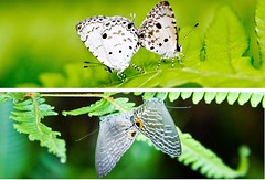 Mating Couples (Sharleen Chao) Tags: macro nature canon butterfly diptych taiwan 100mm    polyommatinae acytolepsispuspamyla  polyommatini  jamidesalectodromicus   micromonday  canoneos550d