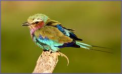 Lilac Breasted Roller (MurrayH77) Tags: bird kenya wildlife safari mygearandme mygearandmepremium mygearandmebronze mygearandmesilver mygearandmegold mygearandmeplatinum allnaturesparadise