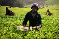 Tres - Three (kaplan77) Tags: africa uganda teaplantation frica teapickers kibaleforestnationalpark plantacindet parquenacionaldelbosquedekibale recolectoresdet