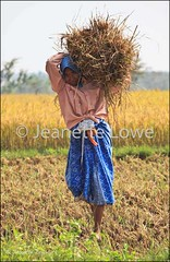 Indian Woman harvesting Rice (Jeanette Lowe (fishflix)) Tags: woman india rice farmer indianwoman indiancountryside indianfarmworker indianwomenworkinginthefields