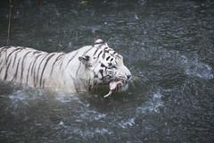 IMG_2561 (Marc Aurel) Tags: zoo singapore tiger tigre singapur whitetiger zoologischergarten singaporezoo weddingtrip hochzeitsreise bengaltiger pantheratigris zoologicalgarden königstiger pantheratigristigris royalbengaltiger pantheratigrisbengalensis weisertiger 5dmarkii eos5dmarkii indischertiger tigrebiancha