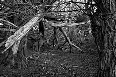 tangled wood (Dr Kippy) Tags: wood trees bw canon400d