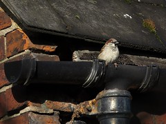 male House Sparrow emerging from prospective nest (nmahieu) Tags: birds sparrows margravinecemetery