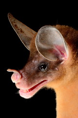 Falso vampiro / Spectral bat