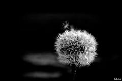 Dandelion in bw (PKub) Tags: green wind dandelion