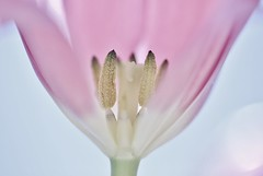 The Beauty - Tulip (Photography Peter101) Tags: flowers macro nature canon spring tulips