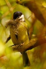 DSC00856 - Great Tit (steve R J) Tags: mill birds tit nest great norfolk british aylesham illtringham