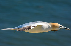 JWL0411 Gannet.... (jefflack Wildlife&Nature) Tags: nature birds countryside wildlife gulls avian gannets seabirds waterbirds gannet shorebirds wildbirds bempton coastalbirds