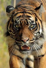 sumatran tiger Jarum Burgerszoo JN6A5932 (j.a.kok) Tags: tiger sumatrantiger tijger burgerszoo pantheratigrissumatrae sumatraansetijger