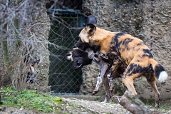 African wild dogs (Cloudtail the Snow Leopard) Tags: wild dog animal mammal zoo african basel tier lycaon sugetier pictus canidae afrikanischer wildhund