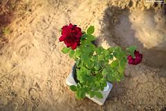 Flowers from Northern Gaza City Beit Lahia,, (TeamPalestina) Tags: sunset sky sun sunrise canon landscape landscapes photo am amazing nice nikon photographer natural sweet live palestine comfort sunrays gaza beautifull palestinian  landscapecaptures