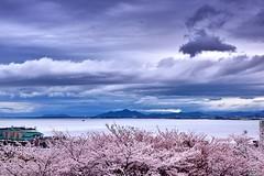 (Clonedbird  & Iris ) Tags:            sakura japan kyoto kansi sunset         nikon 2016 d810 cherryblossom