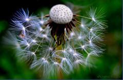 Dandelion Lifecycle (gustaf wallen) Tags: dancinginthewind blowitall dandelionlifecycle