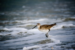 Sandpiper (Emily Kistler) Tags: storm bird beach water animal outdoors sand nikon waves gulf florida foam d750 sandpiper clearwater sandkey