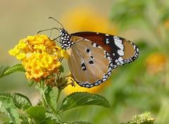 Plain Tiger Butterfly (chdphd) Tags: khajuraho danaus plaintiger danauschrysippus africanmonarch