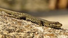 Lézard des murailles (bernard.bonifassi) Tags: bb088 06 2016 thiery reptile lézarddesmurailles alpesmaritimes