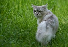 Lord Of The Manor (paulinuk99999 - just no time :() Tags: beautiful cat silver eyes feline surrey paulinuk99999 sal70400g peremptory