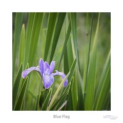 Blue Flag (baldwinm16) Tags: iris summer flower nature june season illinois midwest shoreline il wildflower wetland blueflag naturreofthingsphotography