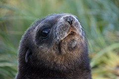 Antarctic Fur Seal Juvenile Portrait (Barbara Evans 7) Tags: georgia fur south barbara seal juvenile antarctic evans7