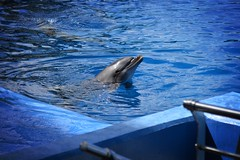 Dolphin (AlessioMoscetti) Tags: trip travel blue sea nature water valencia animal spain nikon dolphin oceanografic