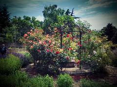 Roses in Balchik botanical garden, Bulgaria (cod_gabriel) Tags: autumn roses rose garden bulgaria jardimbotnico botanicalgarden hortusbotanicus bulgarie jardnbotnico balchik  ortobotanico botanischergarten bulgarije bulgarien dobrudja bulgaristan bugarska balcic  balcsik  bugaria dobrogea gradinabotanica dobroudja   ogrdbotaniczny   cadrilater bulgria botanisktrdgrd botanikbahesi    photoshopexpress dobruda dobruca dobruja  dobruda   balik balchikbotanicalgarden    dobrudzsa dobrugia dobroedzja dobrudzja   huaweiascend speedsurfer   baczik vignetteblack speedsurfertelekom huaweispeedsurfer baltsjik  kebunbotani bulgarianriviera baltik