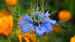 Good morning Thursday (G. Lang) Tags: nigella loveinamist macro blossom blüte kornblume centaureacyanus zyane cornflower lebleuet centauréebleuet makro floraison wassertropfen waterdrops lesgouttesdeau sonyalpha7ii sonyilce7m2