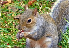 ~  The Best Deal In Town ~ (ChicaD58) Tags: fall nature garden outdoors rodent backyard squirrel critter peanuts hungry paws greedy picnik oink thegoodiebowl