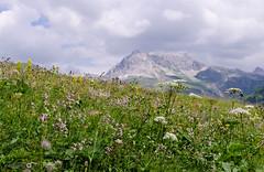Alpine flowers - [EXPLORED] (andreaskoeberl) Tags: flowers mountain alps green nature clouds austria nikon cloudy outdoor blossoms overcast alpine lech vorarlberg arlberg mountainridge d7000 nikon35mmf18 nikond7000 andreaskoeberl
