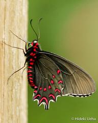 IMG_9569 (Hideki Ueha) Tags: sofia denver butterflypavilion
