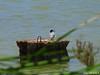 Common Tern (2 of 5) (Forest (GKweb.it)) Tags: bird birds canon tern sterne terns sx20 molentargius commontern sterna sternahirundo commonterns sternacomune canonsx20is canonsx20 sternecomuni