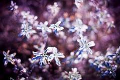 Iced pink (jvsafonso) Tags: pink winter cold flower ice gelo frozen espanha flor rosa inverno frio cuenca geada gelado jvsafonso fotoadrenalina