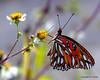 Island of Summer (NTFlicker) Tags: butterfly sharp cumberlandisland nikoncoolpix8800 whiteflowerswithyellowcenter