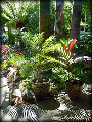 ~~International Palm Society Meeting #4~~ (TravelsThruTheUniverse) Tags: tropicalplants tropicalflowers exoticgardens zengardens tropicalgardens tropicalfoliage californiagardens subtropicalgardens tropicallandscapes subtropicallandscapes internationalpalmsocietymeetnortherncaliforniachapter