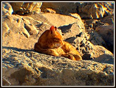 He's sleeping now. (D@nnyR Photogr@phics) Tags: sea nature sunshine animal cat ginger spain rocks mediterranean marbella