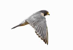 Peregrine Falcon (bmse) Tags: california county orange white san background joaquin 7d falcon 56 salah peregrine falco 400mm falcoperegrinus peregrinus bmse baazizi