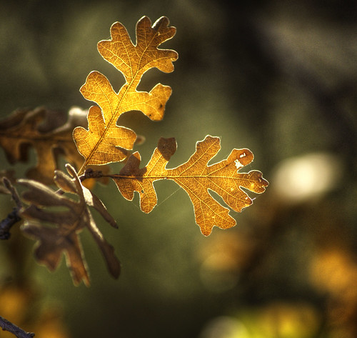 Maple Leaves, backlit
